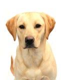 Labrador giallo Immagini Stock Libere da Diritti