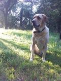 Labrador giallo alla luce solare Fotografia Stock