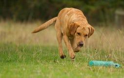 Labrador giallo che richiama manichino Fotografie Stock
