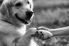 Labrador giving paw to person Stock Photo