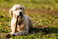 Labrador gnawing stick on lawn. Labrador gnawing stick lying on lawn in park Royalty Free Stock Photo