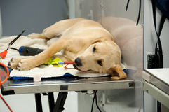 Labrador going under anesthesia Royalty Free Stock Image