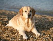 Labrador golden. Labrador lying on seacoast. Dawn beams Stock Images