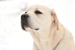 Labrador golden Royalty Free Stock Photos