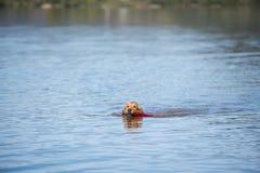Labrador golden retriever dog pure breed female puppy. Labrador golden retriever dog pure breed swim waterwork training female fun smile stock images