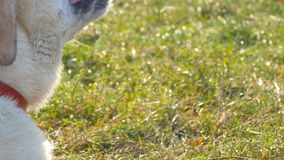 Labrador or golden retriever eating wooden stick outdoor. Animal chew and biting a stick at nature. Dog playing outside stock footage