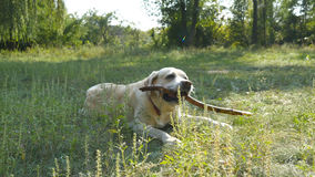 Labrador or golden retriver eating wooden stick outdoor. Animal chew and biting a stick at nature. Dog playing outside. Summer landscape at background. Close Royalty Free Stock Photography