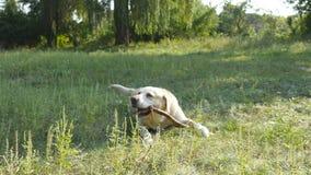 Labrador of gouden retriver die houten stok eten openlucht Dierlijk kauw en bijtend een stok bij aard Hond die buiten spelen stock videobeelden