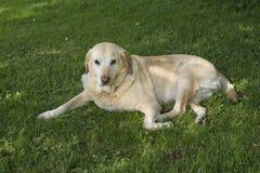 Labrador in gras Stock Foto's