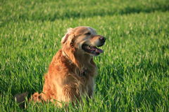 Labrador in grass royalty free stock images