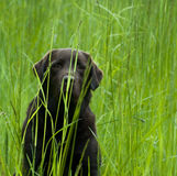 Labrador in Grass. Chocolate Lab in tall green grass Royalty Free Stock Images