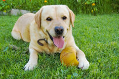 Labrador on Grass. Labrador dog sitting on grass with pleased expression and ball under paw Royalty Free Stock Image
