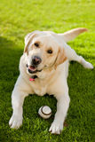 Labrador. On Grass with a ball Royalty Free Stock Image