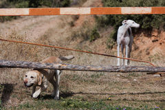 Labrador and Greyhound dog Stock Photos