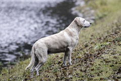 Labrador GT Royaltyfri Foto