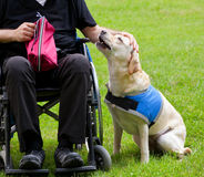 Labrador guide dog and his disabled owner Royalty Free Stock Image