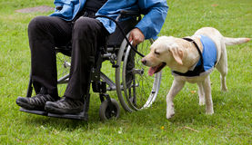 Labrador guide dog and his disabled owner. On green grass royalty free stock photo