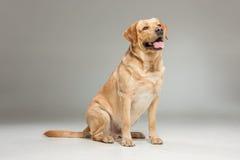 Labrador hämtar på grå bakgrund Fotografering för Bildbyråer
