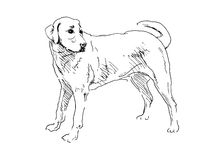 Labrador. Hand drawing Labrador. Vector illustration Stock Photo