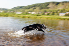 Labrador helps people. Labrador is jumping to the river to help people Royalty Free Stock Images