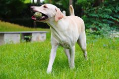 Labrador with her ball. White labrador is running  happily with her ball on the fresh green field of public garden Stock Photography