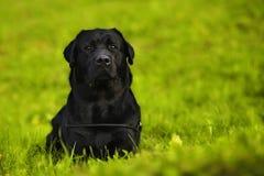 Labrador in het gras Stock Fotografie