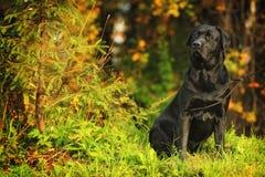 Labrador in het hout Royalty-vrije Stock Afbeelding
