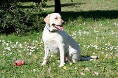 Labrador het letten op Royalty-vrije Stock Afbeelding