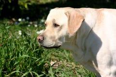Labrador het letten op Royalty-vrije Stock Foto's