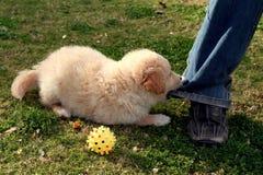 Labrador het spelen Stock Foto's