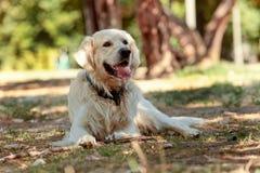Labrador het spelen in aard Royalty-vrije Stock Afbeeldingen