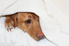 Labrador het verbergen royalty-vrije stock fotografie