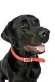 Labrador heureux noir Image stock