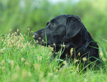 Labrador hiding in the green grass Stock Image