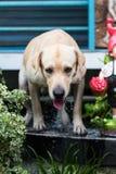 Labrador humide au bord de l'évier Image stock