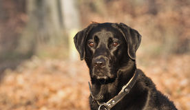 Labrador-Hund Lizenzfreie Stockfotos