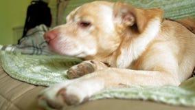 Labrador-Hund, der auf dem Bett liegt stock footage