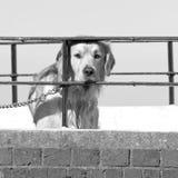 Labrador-Hund, der durch die Geländer suchen nach Aufmerksamkeit schaut stockfotos