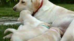 Labrador-Hund, der ihre entzückenden Welpen und Spielen pflegt stock video footage