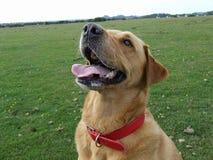 Labrador-Hund, der oben schaut Lizenzfreies Stockfoto