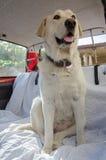 Labrador-Hund im Auto lizenzfreies stockbild