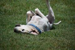 Labrador-Hund, Thailand lizenzfreies stockfoto
