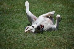 Labrador-Hund, Thailand Stockfotos