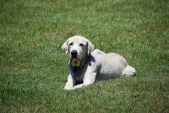Labrador-Hund, Thailand lizenzfreie stockbilder