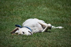 Labrador-Hund, Thailand Stockfoto