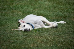 Labrador-Hund, Thailand stockbilder