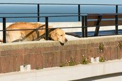 Labrador-Hund, welche nach Aufmerksamkeit an der Küste sucht stockfoto