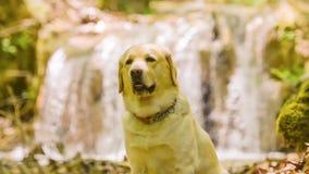 Labrador-Hundeporträt, das vor einem Wasserfall steht stock video footage