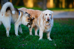 Labrador and Husky dogs in a summer park Stock Images