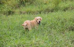 Labrador i ett fält Arkivfoto
